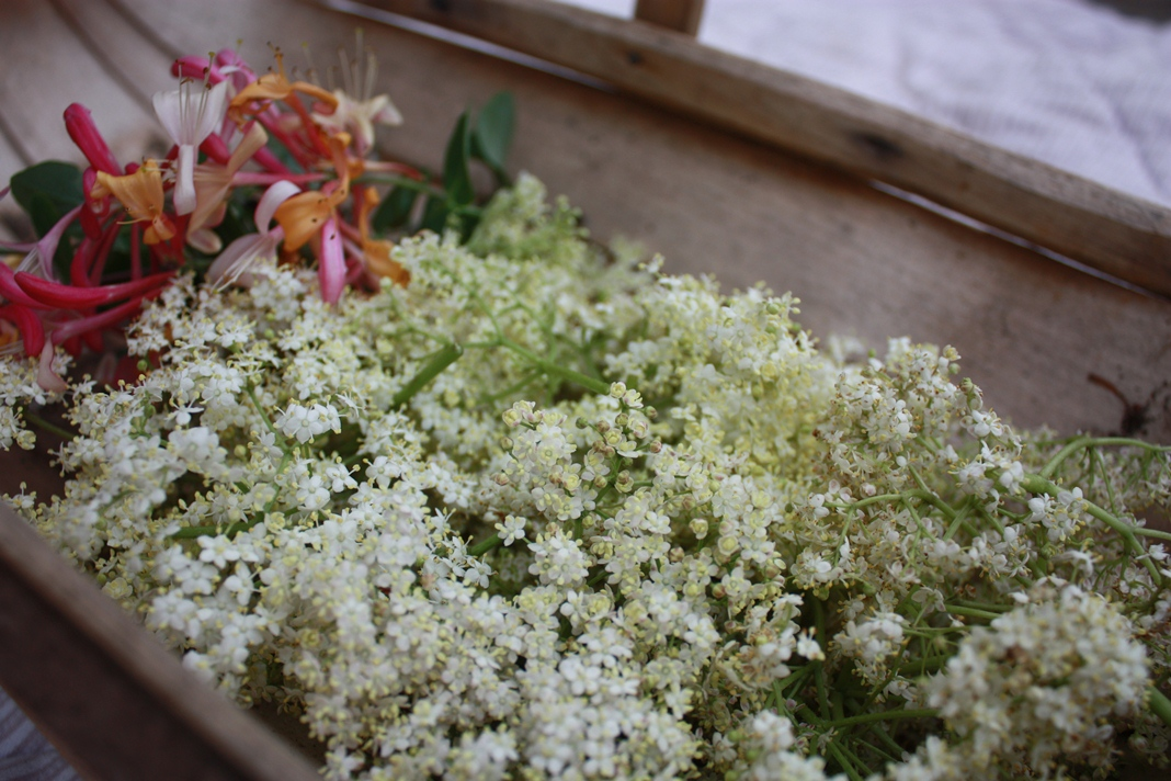 how to make elderflower cordial nz